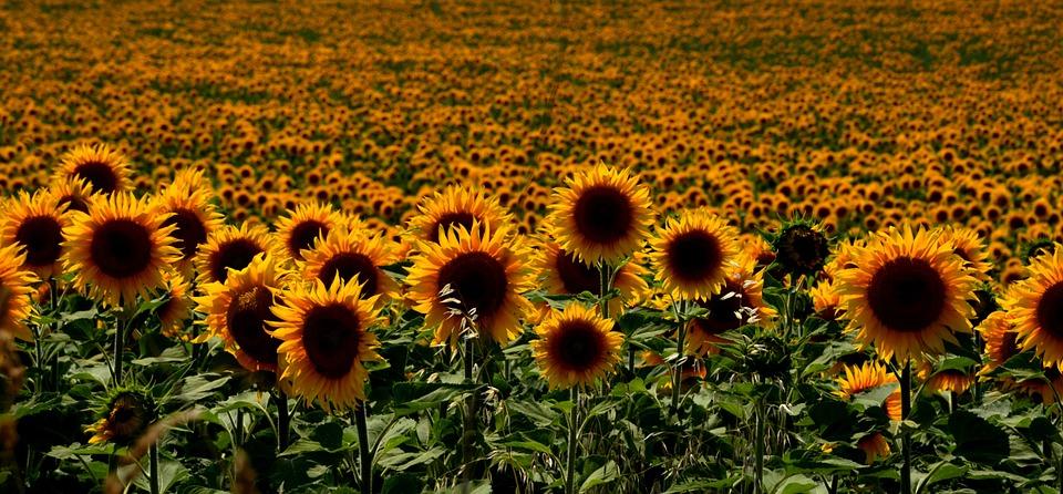 sonenblumen